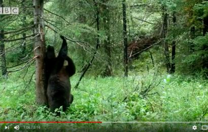 bären-boogie